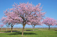 Almond Tree in bloom at german Wine Road,Rhineland-Palatinate,Germany