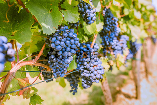 Close-up of ripe red grapes in sunlight