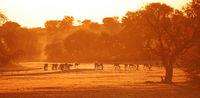 Springboks at sunrise, Kgalagadi Transfrontier National Park, South Africa, (Antidorcas marsupialis)