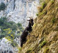 Mountain goat in the mountains of Picos de Europa, Spain