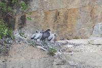 Peregrine falcon nesting in headwall, Falco peregrinus