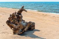 dry snag on the sea coast, picturesque snag on the sand