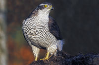 Northern Goshawk / Goshawk / female