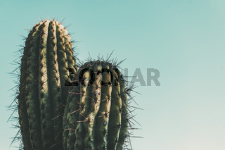 Cactus on turquoise sky background