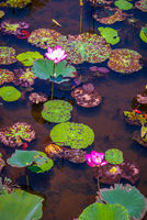 Lotus flowers blooming on Songkhla lake