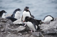 Rockhopper penguins (Eudyptes chrysocome), Falkland Islands, Southern Atlantic Ocean