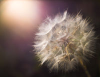 Soft Focus Dandelion At Sunset