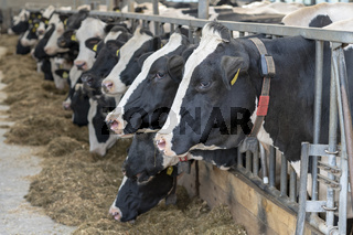 Agriculture dairy cows in a stable on a dairy farm