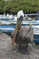 Brown Pelican (Pelicanus Occidentalis urinator), Santa Cruz Island, Galapagos Islands, Ecuador