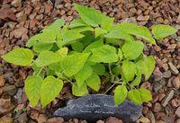 Salbei, Frucht-, Salvia dorisiana