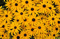 Beautiful yellow rudbeckia flowers closeup on green grass background