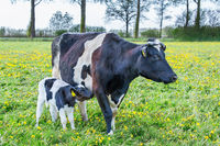 Mother cow with newborn calf  standing in european meadow