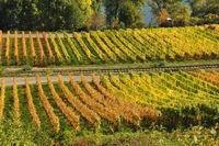colored vineyards