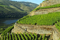 Terraced vineyards with dry stone walls, Vale do Inferno, vineyard, Douro Valley, Portugal