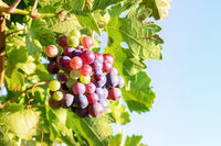 Wine grapes at a sunny vineyard against a blue sky, with copy space