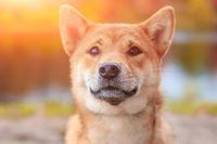 Shiba dog on a walk in the autumn park. Beautiful fluffy dog. .