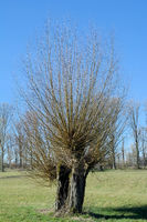 Basket Willow tree (Salix viminalis) in Rhineland,Germany
