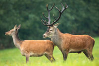 Red deer stag with massive dark antlers sniffing hind in mating season