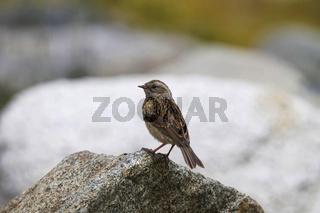 Brown Accentor, Prunella fulvescens, Khardung village, Jammu and Kashmir, India