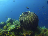 Coral reefs at Amed, Sunken ship diving site, Bali, Indonesia.