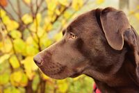 Profile Head Shot of a Chocolate Labrador