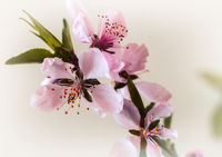 Sprig of peach blossom on white background.