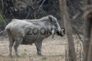 female Indian boar who stands on a clearing in a small forest on a sunny day