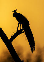 Peacock silhoutte, Bharatpur, Rajasthan, India