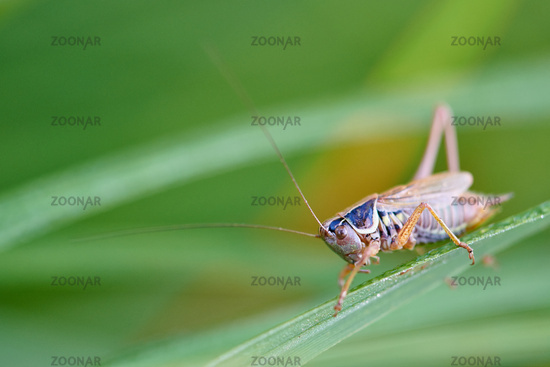 Orthoptera on a stem
