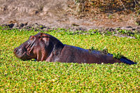 Hippo in the water at South Luangwa National Park, Zambia