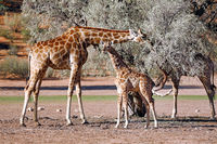 Giraffes, Kgalagadi Transfrontier National Park, South Africa, (Giraffa)