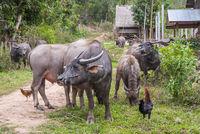 Water buffalos by the road, Laos