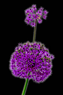Zwei kugelförmige Blüten eines Zierlauchs