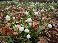 Leucojum vernum, snowflake, dewdrop, St. Agnes' flower,
