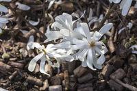 white blossom of star magnolia