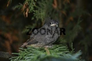 Ein Jungvogel - Hausrotschwanz sitzt auf Ast in einer Hecke