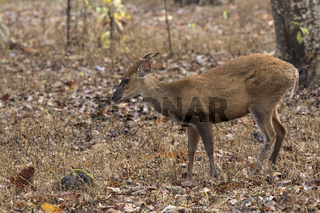 male of a Indian muntjac or barking deer standing in the woods on a winter rainy day