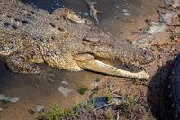 crocodile Australia