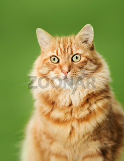 Portrait of a ginger cat against green background