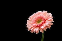 Beautiful pink gerbera flower isolated on a black background.