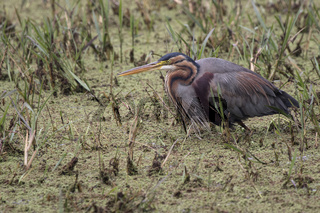 purple heron which lurked in shallow water for fishing overcast