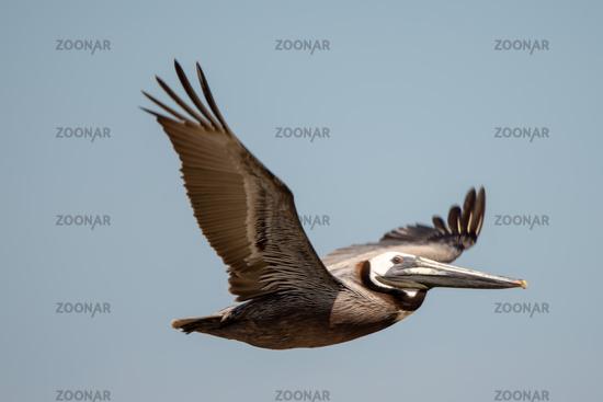 abstract pelicans in flight at the beach of atlantic ocean