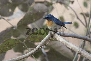 male Tuckells Blue Flycatcher who sits on a dry branch in shrubby thickets
