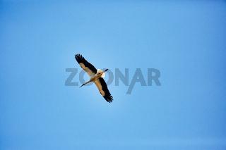 Ein fliegender Storch am blauen Himmel