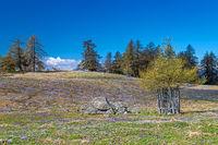 Crocus blossom at Giogo di Meltina, Moeltner Joch, South Tyrol