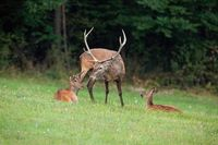 Group of red deer relaxing on a meadow in summer
