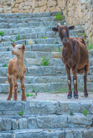 Curious Goat And Kid