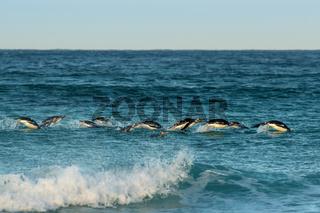 Group of Gentoo penguins diving in Atlantic ocean