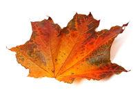 Autumn maple-leaf