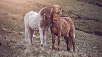 cuddling faroese horses